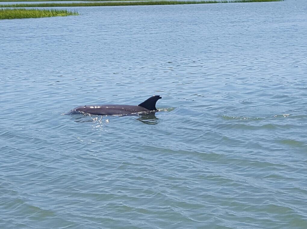 Charleston SC marshland dolphins