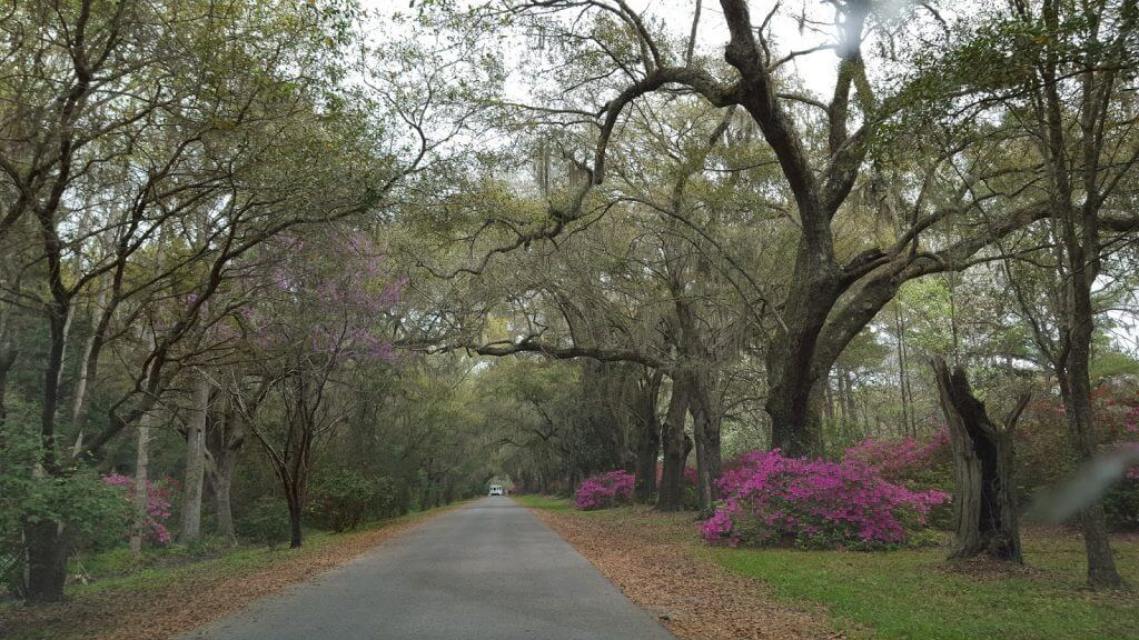 driveway with living oak trees and azaleas
