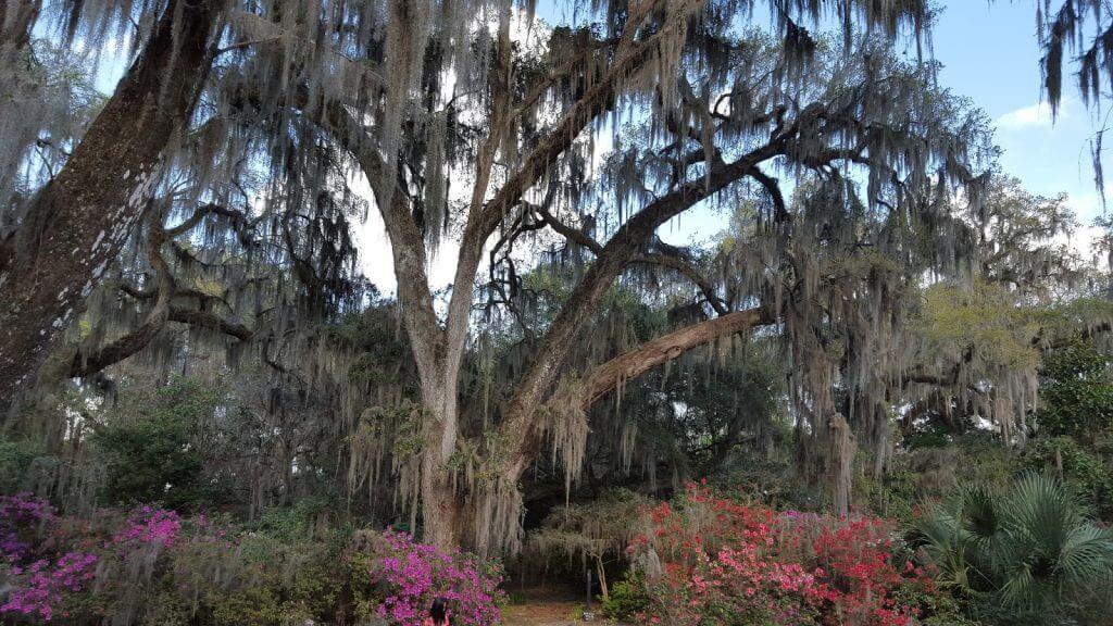 plantation oak tree