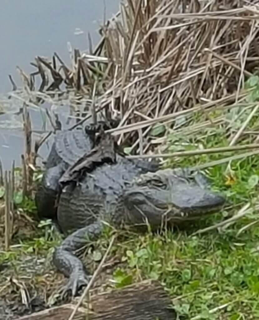 Alligator in historic rice bog at Magnolia plantation